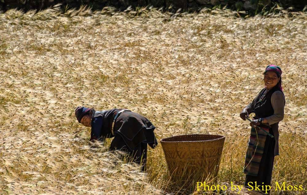harvesting barley i n Manaslu tsum valley